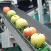 Apples coming down a production conveyor line